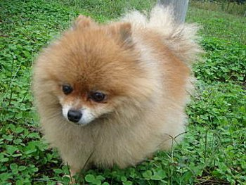 31.2:350:263:250:188:Pomeranian:center:1:1::1: