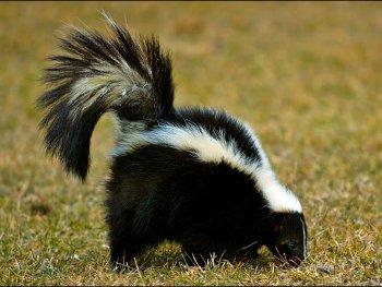 24.5:350:263:250:188:Skunk:center:1:1::1: