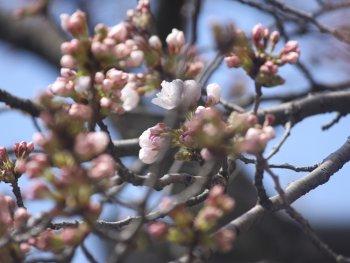 22.1:350:263:250:188:Sakura:center:1:1::1: