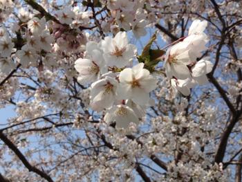 150.6:350:263:250:188:Sakura:center:1:1::1: