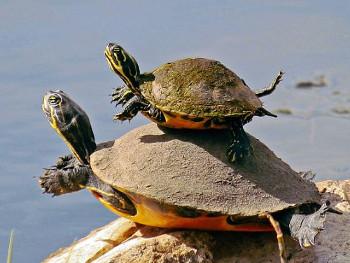 35.5:350:263:250:188:Tortoise:center:1:1::1: