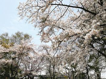 58.5:350:263:250:188:Sakura:center:1:1::1: